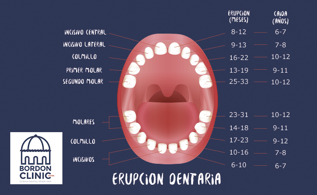 ERUPCION DENTARIA Clinica dental Madrid